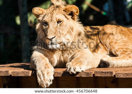 A close up portrait of a beautiful young lion resting on some national park in South Africa. - stock photo