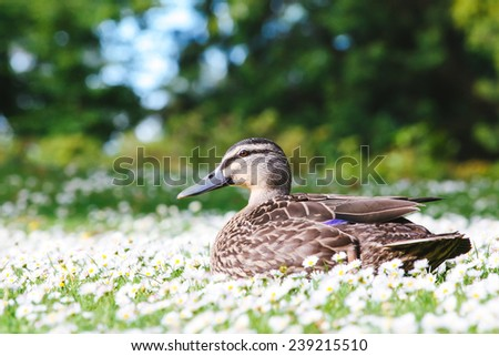 A close up portrait of a female Mallard Duck on a Daisy flowers facing left