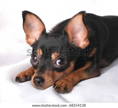 A close-up portrait of a lying russian toy terrier - stock photo