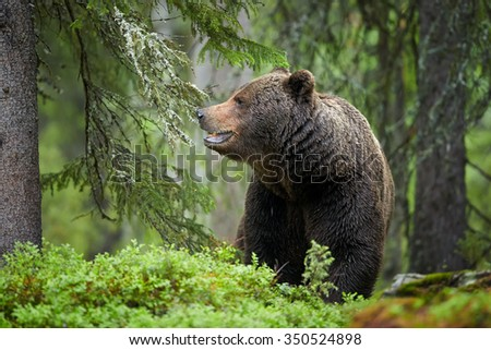 A close up portrait of a wild big male brown bear in deep green european forest carefully watching surroundings in arctic white night