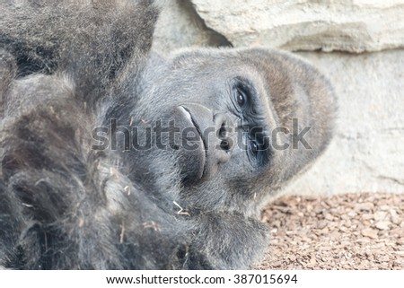 A close-up portrait of African Gorilla monkey - stock photo