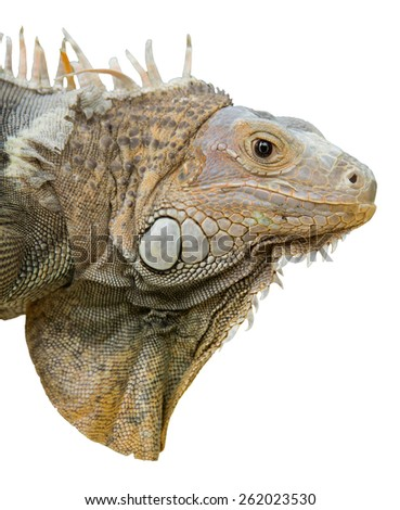 a close up portrait of an iguana isolated - stock photo