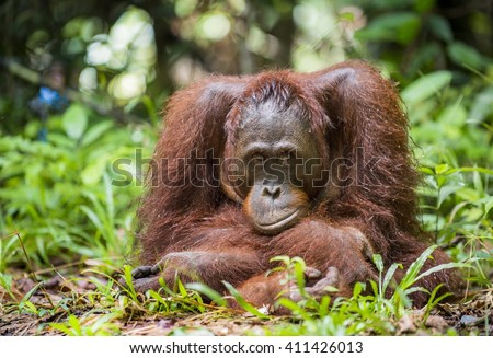 A close up portrait of the  Bornean orangutan (Pongo pygmaeus) in the wild nature. Island Borneo. Indonesia.