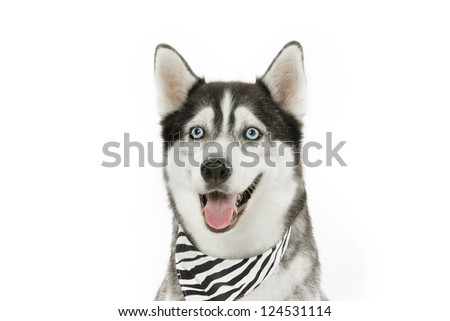 A Close Up shot of a dog wearing a scarf.