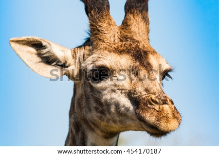 A close up shot of a elegant giraffe on a african savanna.