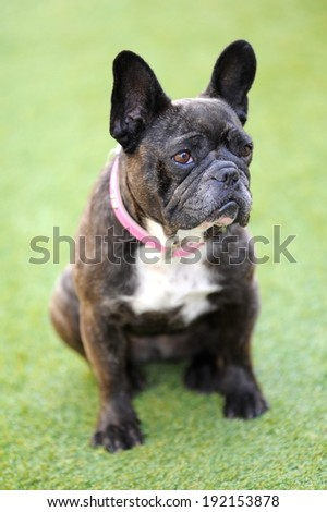 A close up shot of a french bulldog