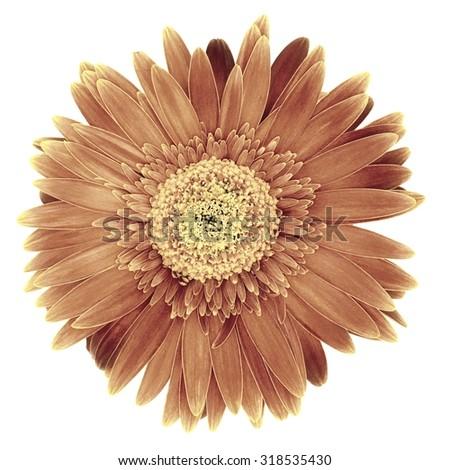 A close up shot of a gerber a flower - stock photo