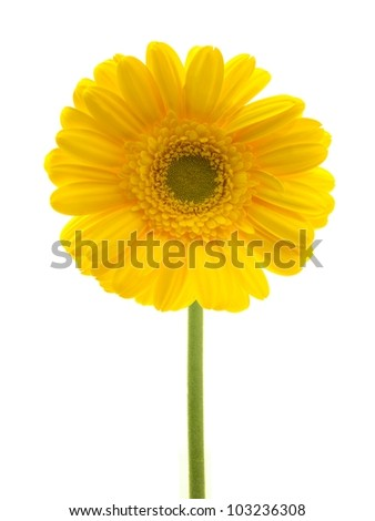 A close up shot of a gerbera on white