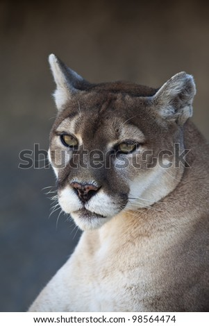 A close-up shot of a Mountain Lion (Puma concolor). - stock photo