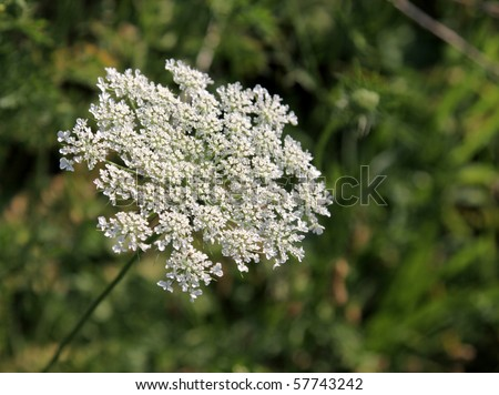 A close-up shot of a Queen Anne's Lace flower.