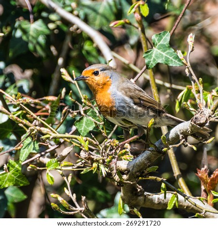 A close-up shot of a robin red breast sitting in a hedgerow. - stock photo