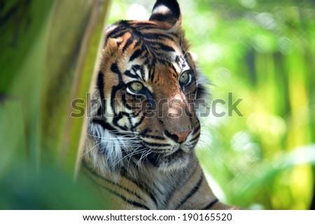 A close up shot of a Sumatran Tiger - stock photo