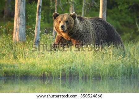 A close up shot of a wild big male brown bear on the bank of small lagoon in green grass  stared directly at the camera. Deep green european forest in background, early morning colorful light .  - stock photo