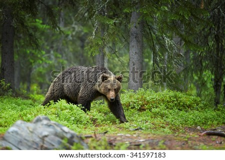 A close up shot of a wild female brown bear in deep green european forest carefully watching surroundings