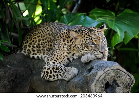 A close up shot of an African Leopard - stock photo