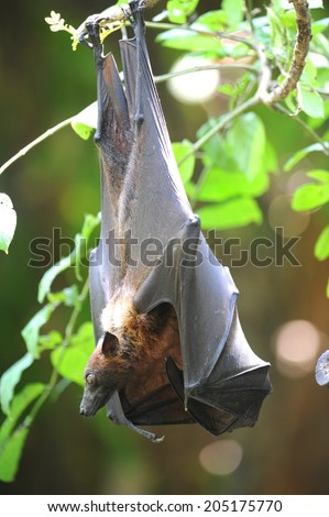 A close up Shot of an Australian Flying Fox - stock photo