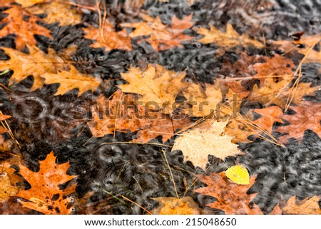 A close up shot of fall leaves floating in a puddle while it's raining.  - stock photo