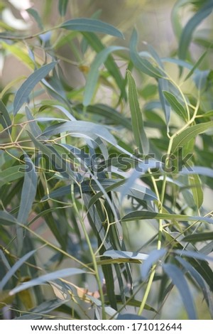 A close up shot of gum tree leaves - stock photo