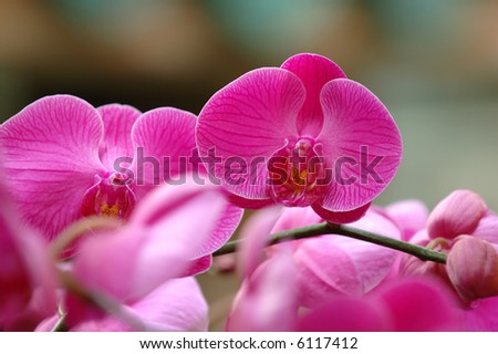 A close up shot of pink orchid