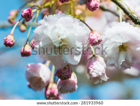 A close-up shot of some cherry tree blossom. - stock photo