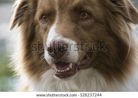 a close-up shot of the head of a brown and white Australian shepherd dog his mouth slightly open and a very attentive eyes
