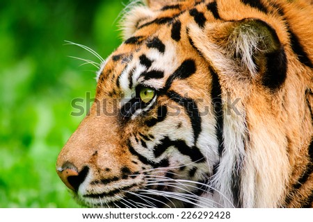 A close up side profile of a Sumatran tiger watching something intently in a natural environment.  - stock photo