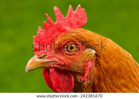 A close-up side view of a red chicken head - stock photo