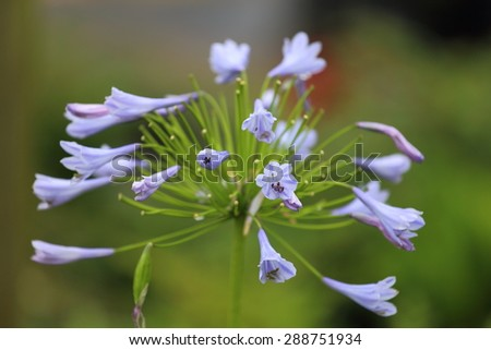 A close up view of a Agapanthus, or Lily of the Nile, bloom which is blue.  - stock photo