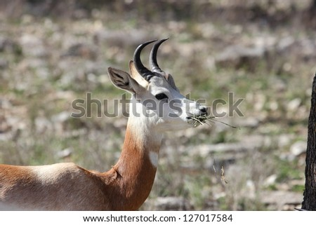 A close up view of a deer chewing on some hay - stock photo
