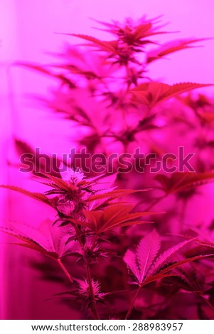 A close up view of a marijuana plant in mid bloom