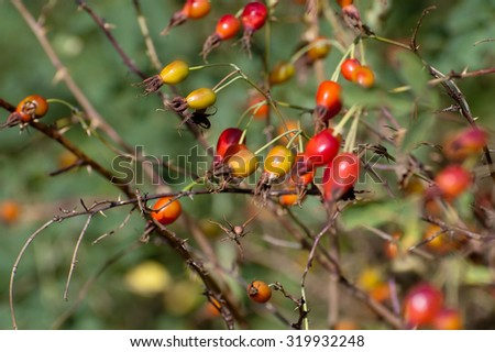 A close-up view of sweet mature brier in a sunny autumn dat  - stock photo