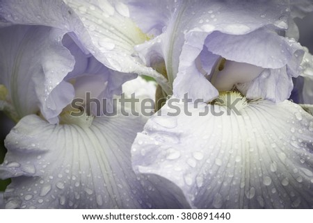 A close-up view of the beautiful petals of the bearded iris, still wet with water droplets after a spring shower. - stock photo