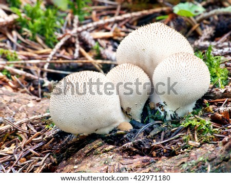 A close-up view showing group of four Lycoperdon pyriforms, a saprobic fungus, commonly known as the pear-shaped puffball or stump puffball, growing on decaying wood in forest.