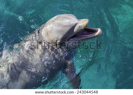 A close view of a dolphin swimming in clear blue water. - stock photo