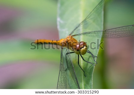 A close view of a Meadowhawk dragonfly species perched on a leaf. - stock photo