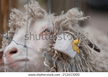 A closed-up of sheep face  - stock photo