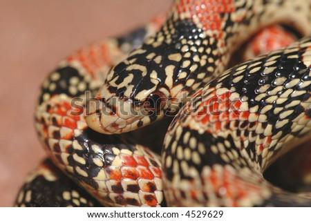 A closeup headshot of an Arizona longnose snake. - stock photo