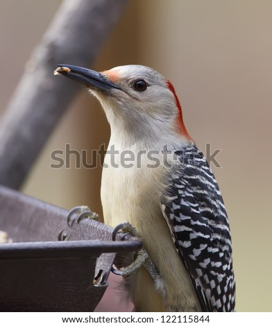 A closeup image of a Red-bellied Woodpecker perched on a feeder with a seed in it's beak. - stock photo