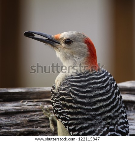 A closeup image of a Red-bellied Woodpecker perched on a log with a seed in it's mouth.