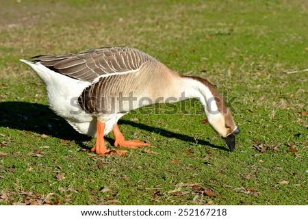 A closeup of a Canadian Goose (Branta canadensis) eating grass. - stock photo