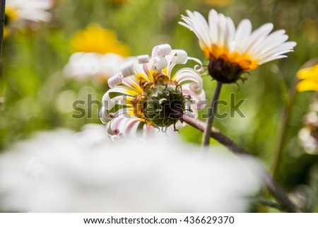 A closeup of a flower facing towards the sun set in a blurry frame of flowers. Beautiful flowers can be seen during Spring in South Africa. - stock photo