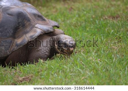 A Closeup of a Galapagos Tortoise (Geochelone Nigra) - stock photo