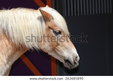 A Closeup of a Haflinger Horse, Also Known as a Avelignese - stock photo