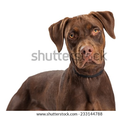 A closeup of a Labrador Retriever Mixed Breed Dog standing while looking into the camera.