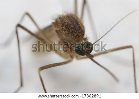 A closeup of a mosquito - stock photo