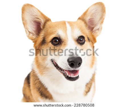 A closeup of a Pembroke Welsh Corgi Dog with open mouth.  - stock photo