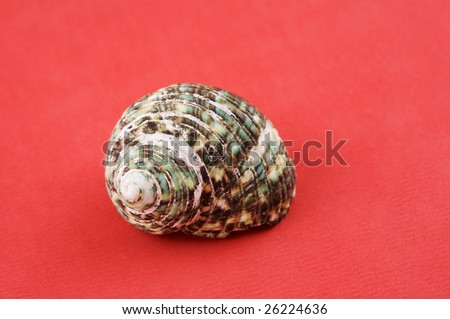 A closeup of a Periwinkle sea shell against a red background.