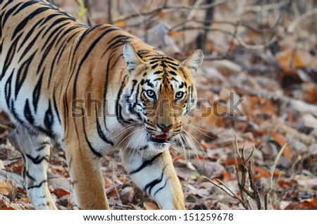 A closeup of a tiger in the wild in the forest of Tadoba Andhari, India - stock photo