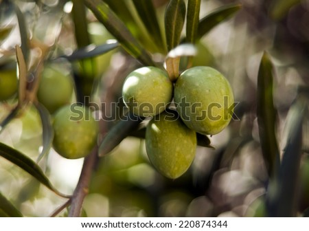 A closeup of green olives on a tree
