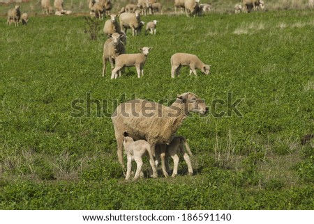 a closeup of lambs feeding from a ewe in a alfalfa pasture